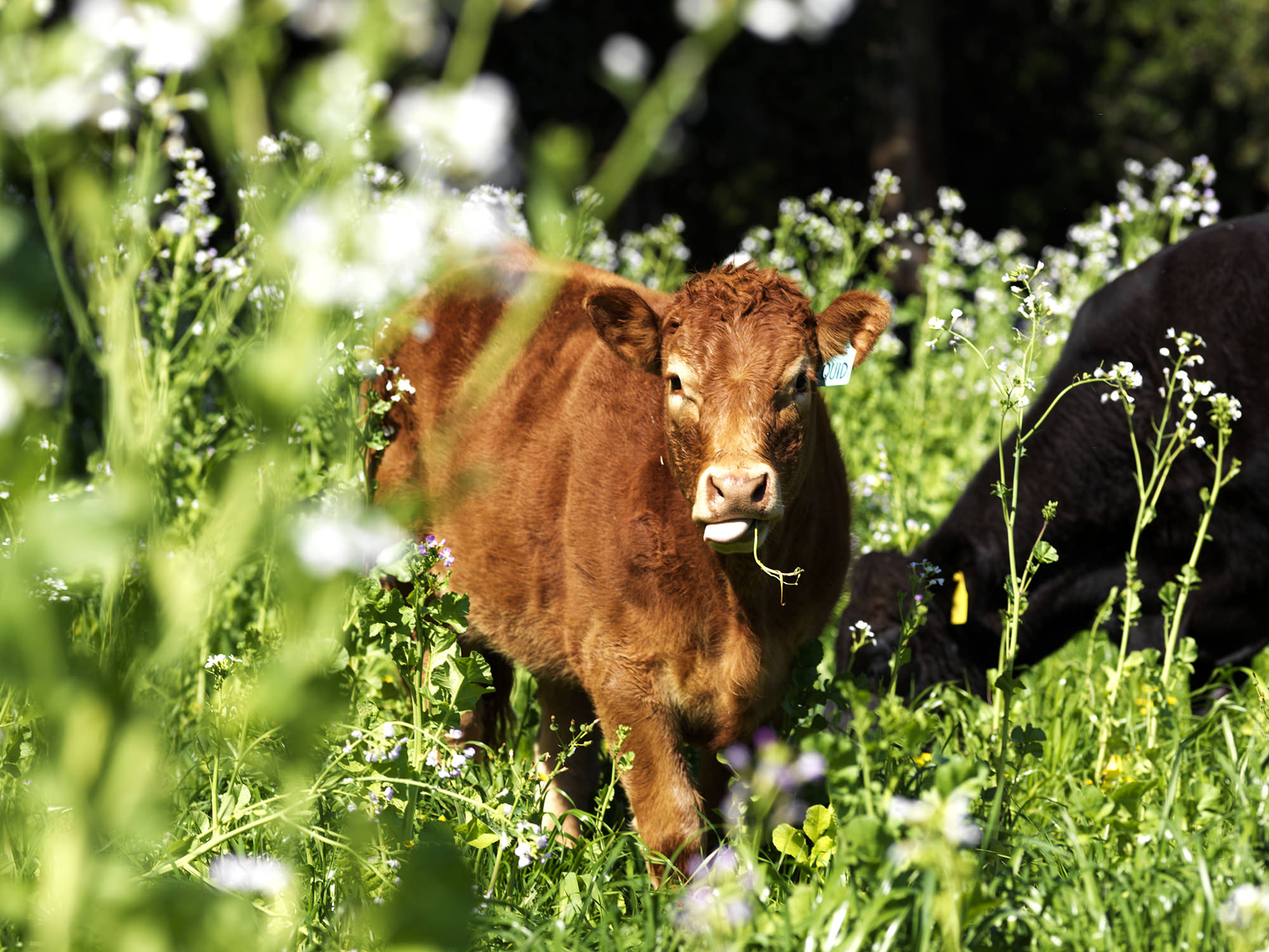 Pasture diversity gives cattle a broad diet while also improving soils and groundcover.